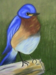 "Bluebird, Pastel and Charcoal, 18"" x 24"""